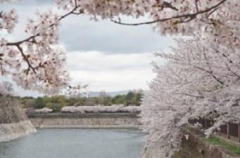 大阪城公園の桜は関西でとても人気あるお花見スポットです。