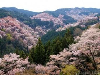 奈良にある吉野の桜は、壮大な景色が美しいお花見処です。