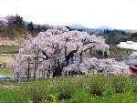 しだれ桜の名所。京都ほかスポット。開花時期はいつ頃?