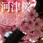 三浦海岸の河津桜2018開花情報。場所はどこ?駐車場はある?