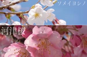sakura_kawazu_004
