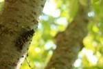 セミの寿命はどれくらい?成虫が短い理由。 幼虫の土の中の年数は?