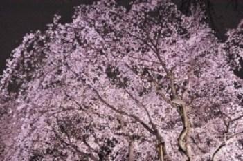 cherry_blossom_rikugien_2016_002