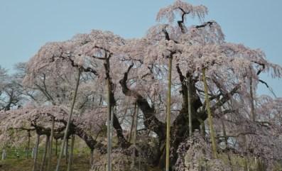 三春の滝桜の見頃と開花状況は?地図住所とアクセス方法