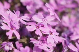 羊山公園芝桜の開花状況。見頃はいつ?駐車場と渋滞回避ルートは?