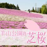 羊山公園芝桜2018開花状況。見頃はいつ?駐車場と渋滞回避ルート