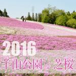 羊山公園芝桜2016開花状況。見頃はいつ?駐車場と渋滞回避ルート