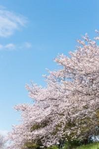 鎌倉の桜の開花時期。名所の花見スポット満開予想と混雑状況