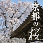 京都の桜2018開花予想と満開時期。穴場の名所はどこにある?