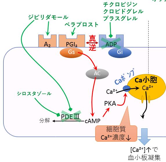 Gs共役型 血小板凝固 作用機序 ジピリダモール ベラプロスト