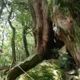 【体験談】白谷雲水峡 一番短い『弥生杉コース』を7歳の子供と歩いてみました!