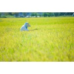 減量食に適したお米があるらしい(日経新聞記事紹介)