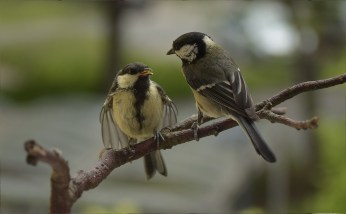 Great tit and chick