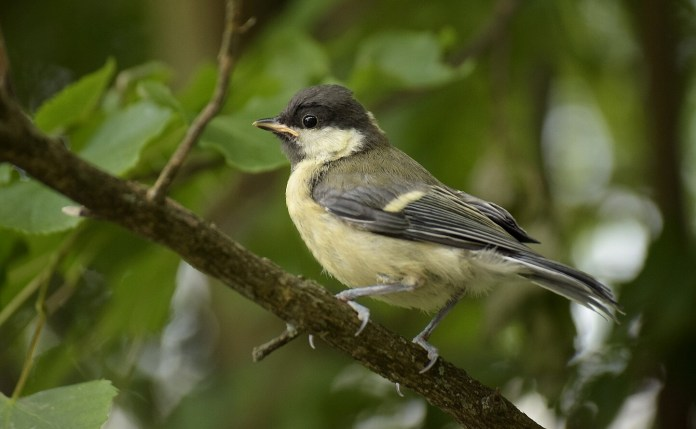 Fully feathered great tit chick