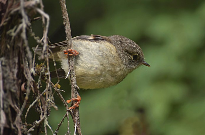 Female Tomtit (1)