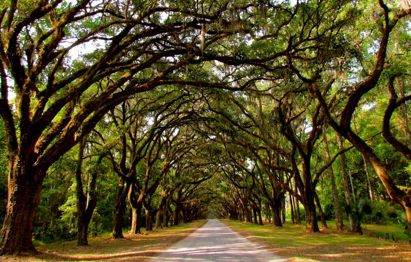Savannah road lined with trees