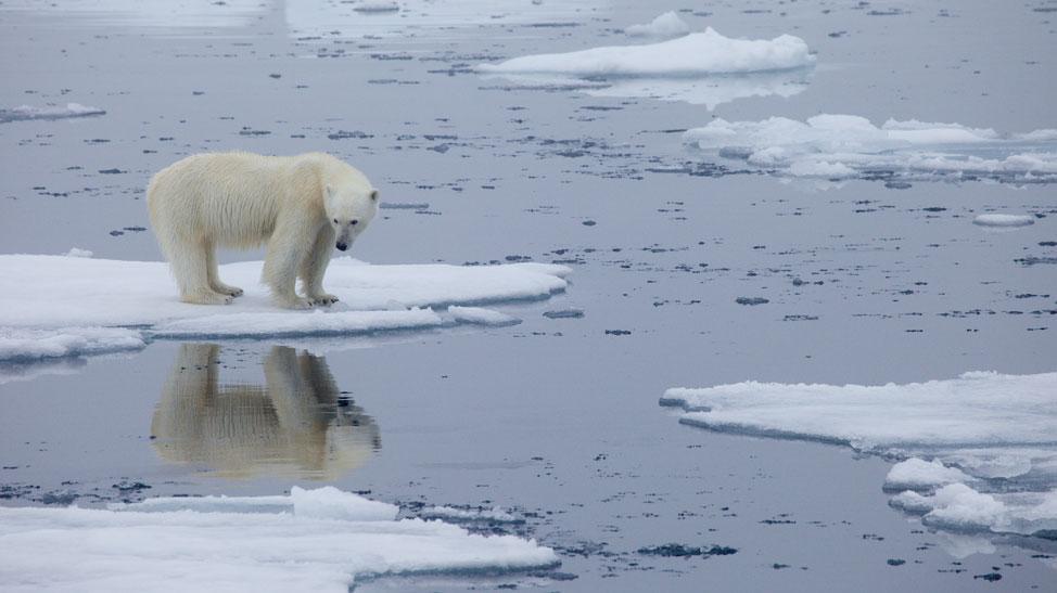 Polar bear and reflection
