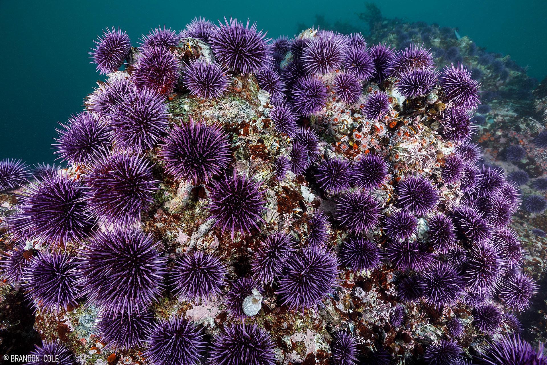 A barren rock taken over by sea urchins
