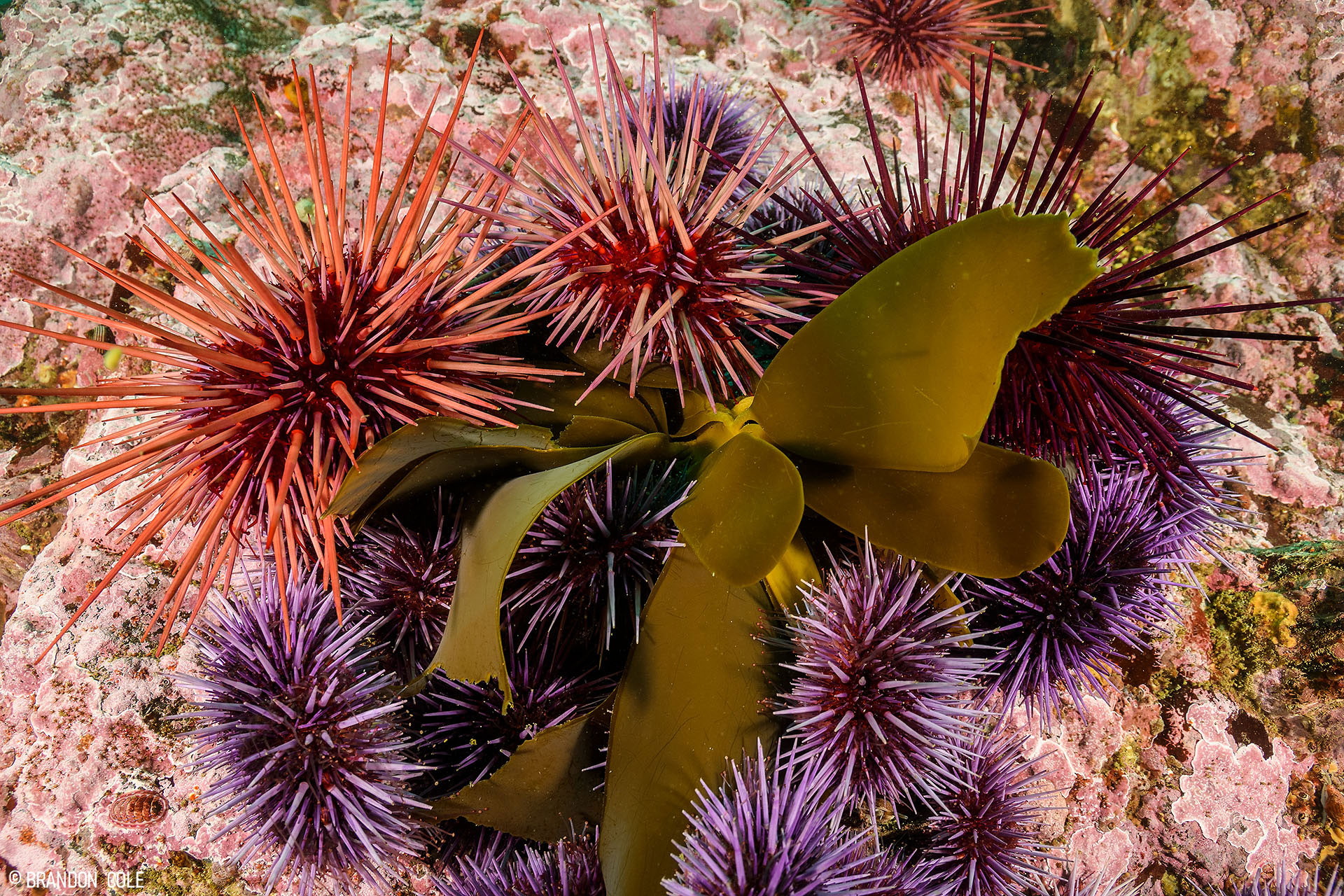 Red sea urchins join in on eating.