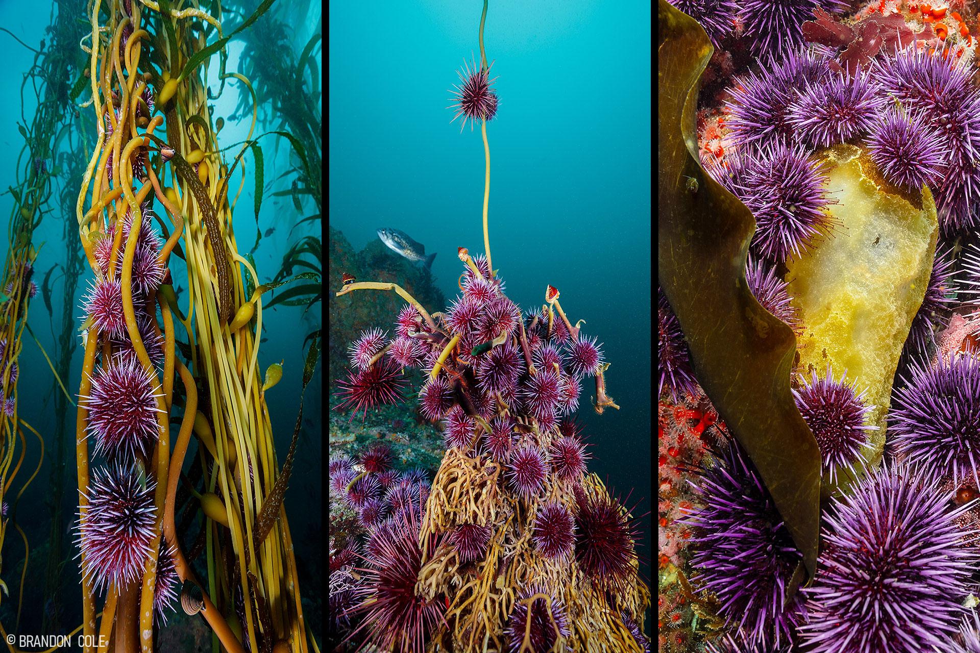 Purple sea urchins devour kelp.