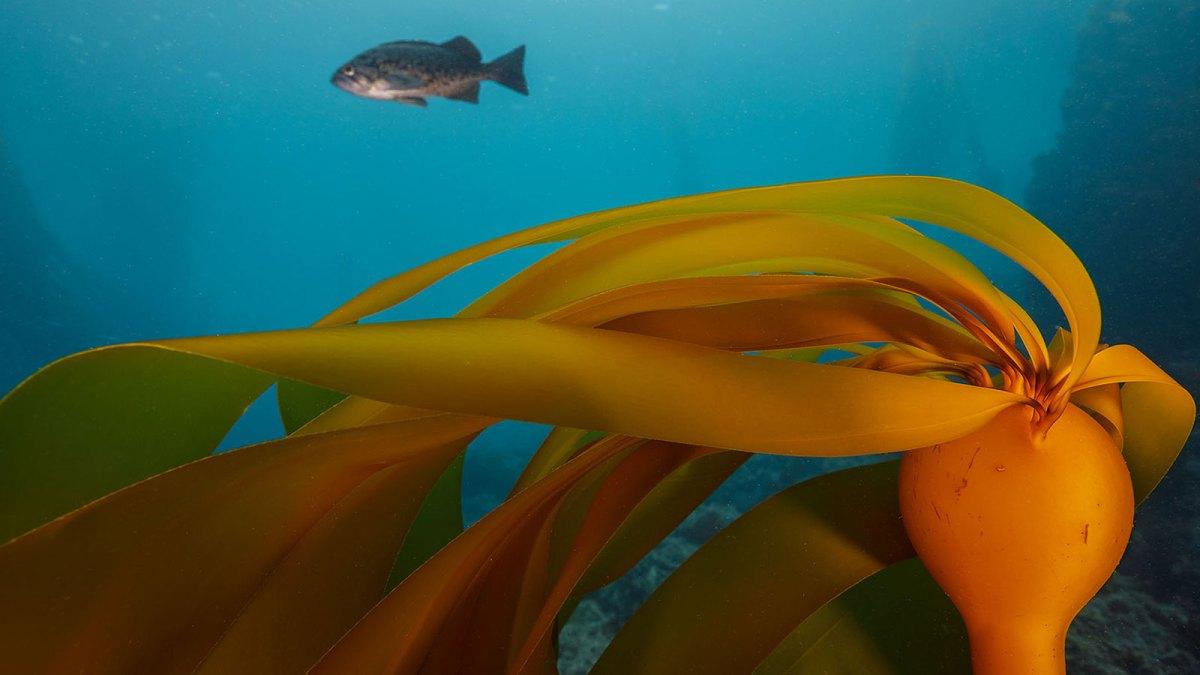 Lone fish among kelp