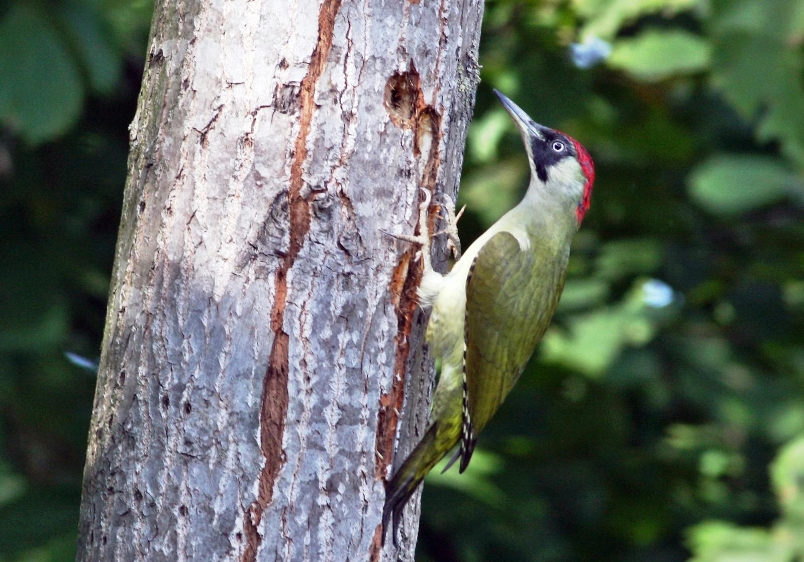 Hersek Lagününde yeşil ağaçkakan ile kuş tür sayısı 236'ya yükseldi