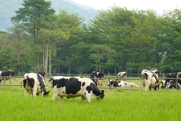 瑞穗牧場︳免門票花蓮親子景點,可以餵牛還有牛奶冰淇淋和饅頭