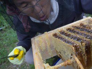 ニホンミツバチ採蜜