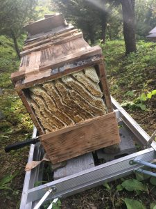 蜂蜜を採る