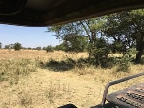 Løver i buskene