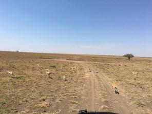 Løpende gazeller