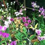 Anggrek - Yanflora.com 002