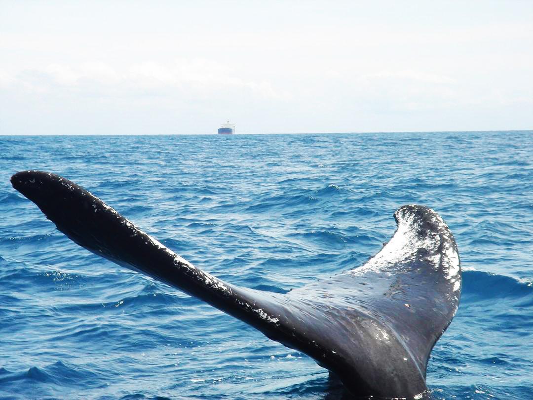Queue de baleine gigantesque au large du Togo