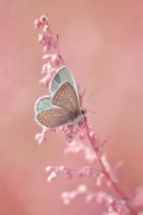 Papillon 28