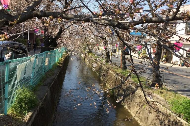 玉串川沿い桜