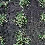 Grass-plugs, sprigs