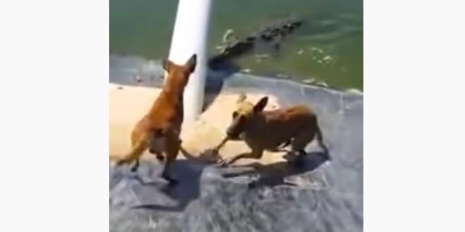 Jamaican man saves dog as massive Crocodile eats another [Video]