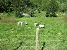 goats too!
