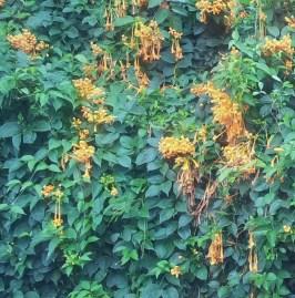 Little orange-bells