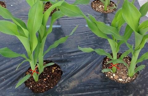 トウモロコシの作り方 トウモロコシ 間引きと土寄せ
