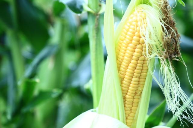 家庭菜園 トウモロコシの栽培失敗例