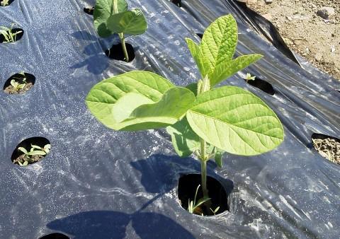家庭菜園 枝豆の栽培方法 マルチ