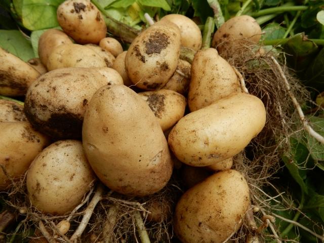 家庭菜園・ジャガイモの栽培作り方