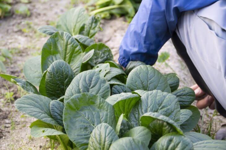 小松菜の旬と原産地