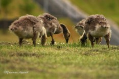 Childhood of Geese