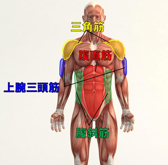 腹筋ローラーで鍛えられる筋肉の部位