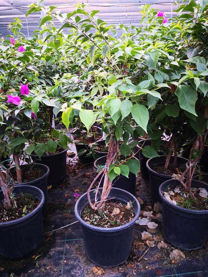 Bougainvillea BEG S 01005 P21 1 - Torch glow Bougainvillea