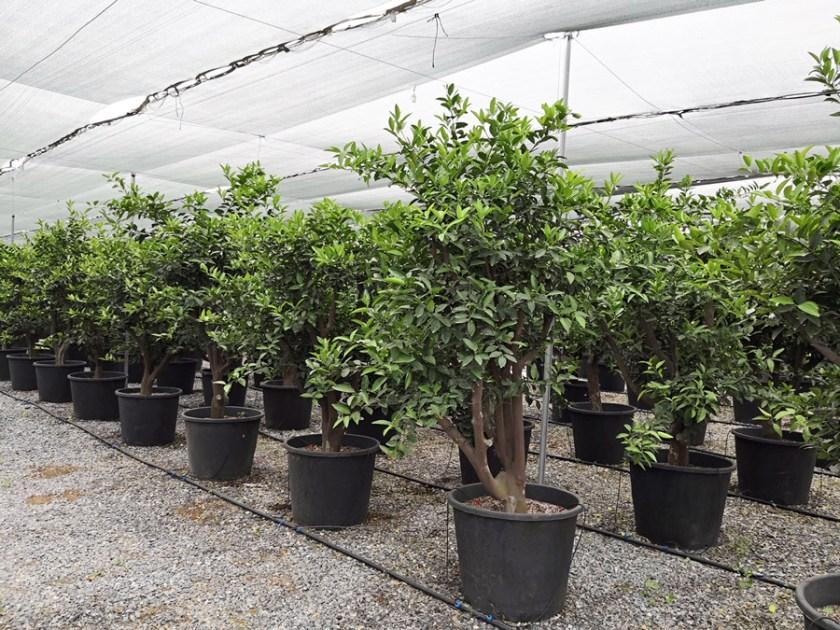 Citrus-clementina-MAN-S-06001-P70