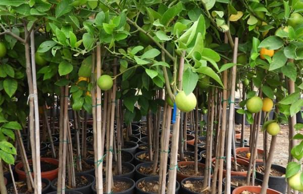 Citrus limon LIM S 06001 P21 1 - PUNICA GRANATUM