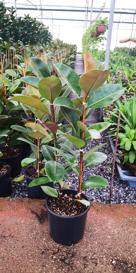 Ficus Elastica KAC S 01002P24 1 - Kauçuk